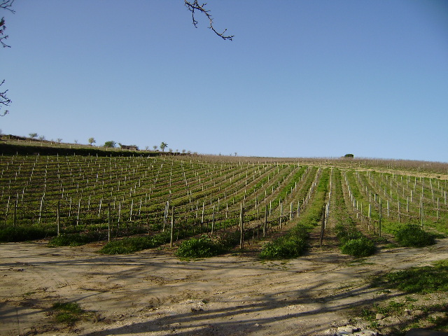 Imobiliário - Vendas -Terrenos - vineyard for sale in the Estremadura - ID 6549