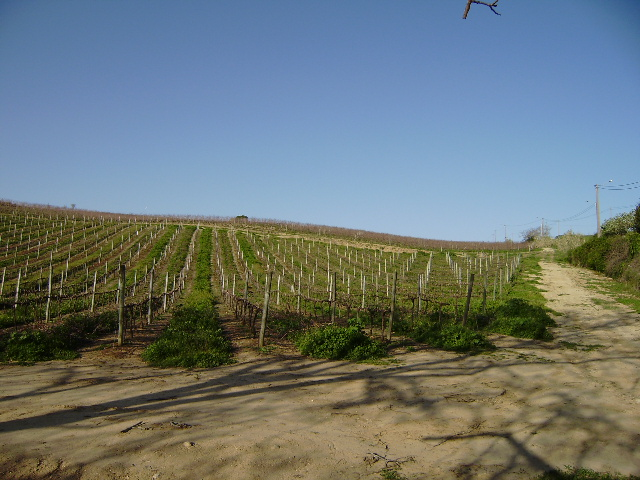 Vineyard_for_sale_in_lisbon_LBA4972