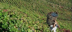 Vineyard_for_sale_in_Viseu_sma7554